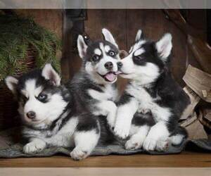 Siberian Husky Puppy for sale in BLMGTN, IN, USA