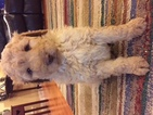 Goldendoodle-Poodle (Standard) Mix Puppy For Sale in SOMERVILLE, OH, USA