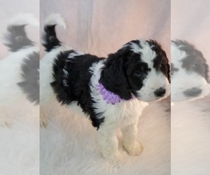 Bernedoodle-Bernese Mountain Dog Mix Puppy for Sale in CABOOL, Missouri USA