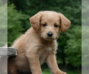 Miniature Labradoodle Puppy for sale in DANVILLE, PA, USA