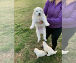Small #3 Great Pyrenees