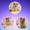 Pomeranian Puppy For Sale in FRESNO, CA, USA