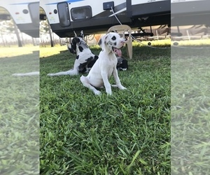 Great Dane Puppy for sale in LAKE WALES, FL, USA