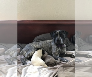 Mother of the German Shorthaired Pointer puppies born on 10/04/2020