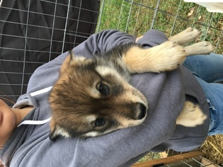 Wolf Hybrid Puppy For Sale in LANESVILLE, IN, USA