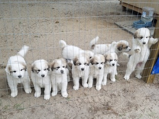Great Pyrenees Puppy For Sale in HOPE MILLS, NC, USA