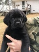 Bloodhound-Golden Retriever Mix Puppy For Sale in TERRY, MS, USA