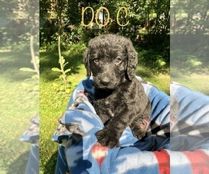 Labradoodle Puppy for sale in RICE LAKE, WI, USA