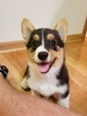 Pembroke Welsh Corgi Puppy For Sale in ROCHESTER, MN, USA