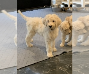 Poodle (Standard) Puppy for Sale in PLANT CITY, Florida USA
