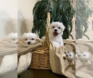 Maltese Puppy for sale in VALDOSTA, GA, USA