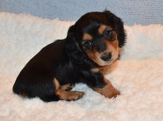Dachshund Dog for Adoption in BENTON, Arkansas USA
