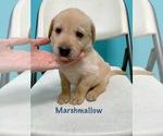Puppy 9 Labrador Retriever