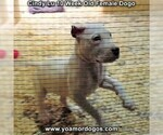 Small Photo #90 Dogo Argentino Puppy For Sale in PINEVILLE, MO, USA