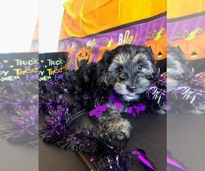 YorkiePoo Puppy for sale in AMERICAN FORK, UT, USA