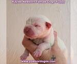 Small #1 Dogo Argentino