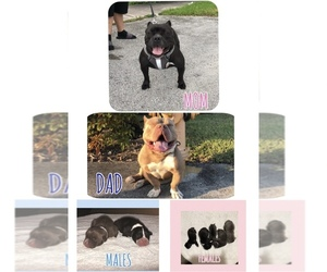 American Bully Puppy for sale in CORAL GABLES, FL, USA