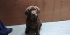Labrador Retriever Puppy For Sale in IRON RIDGE, WI