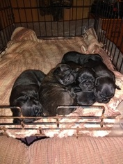 Buggs Puppy For Sale in LORRAINE, NY, USA