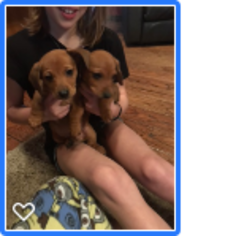 Dachshund Puppy for sale in CHELSEA, OK, USA