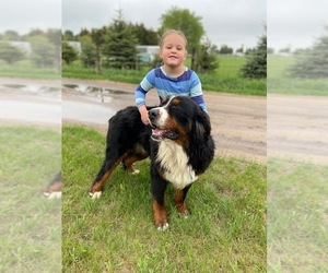 Bernese Mountain Dog Puppy for Sale in ATKINSON, Nebraska USA