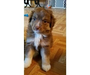 Miniature Australian Shepherd Puppy for sale in ATLANTA, IN, USA