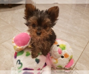 Yorkshire Terrier Puppy for Sale in WHITTIER, California USA