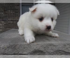 American Eskimo Dog Puppy for sale in KALAMAZOO, MI, USA