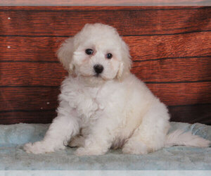 Poochon Puppy for sale in PENNS CREEK, PA, USA