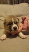 Akita Puppy For Sale in HUTCHINSON, MN, USA