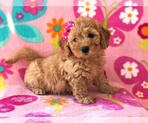 Goldendoodle Dog for Adoption in LANCASTER, Pennsylvania USA
