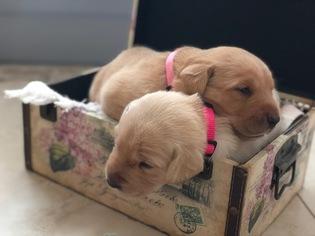 View Ad Labrador Retriever Puppy For Sale Florida Jensen Beach Usa