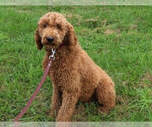 Father of the Labradoodle puppies born on 09/10/2020