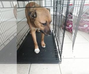 German Shepherd Dog Puppy for sale in FRISCO, TX, USA