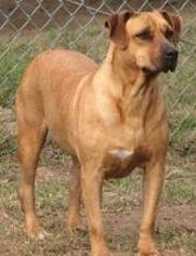 Sherry - Pit Bull Terrier / Yellow Labrador Retriever / Mixed Dog For Adoption