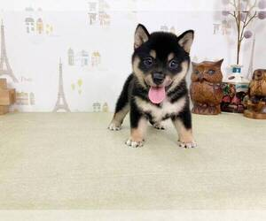 Shiba Inu Dog for Adoption in LOS ANGELES, California USA