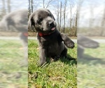Puppy 12 Labrador Retriever