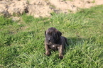 Presa Canario Puppy For Sale in GLASGOW, Kentucky,