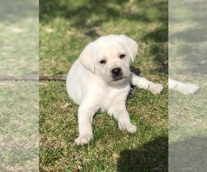 Labrador Retriever Puppy for sale in ZIMMERMAN, MN, USA