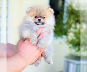 Pomeranian Dog for Adoption in SUNNY ISL BCH, Florida USA