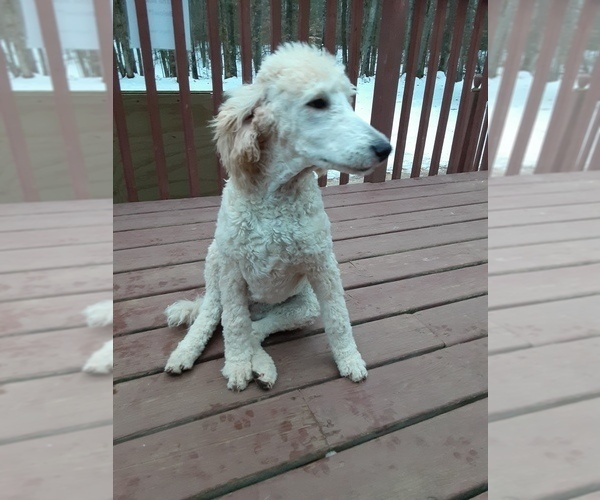 Medium Photo #8 Poodle (Standard) Puppy For Sale in WAUSAUKEE, WI, USA