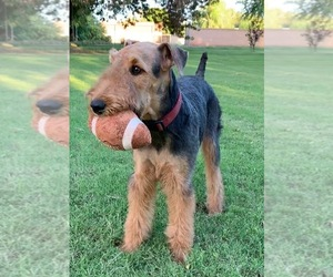 Mother of the Airedale Terrier puppies born on 12/14/2019