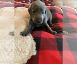 Small #8 Labrador Retriever