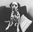 Dalmatian Puppy For Sale in ALLEGANY, NY, USA