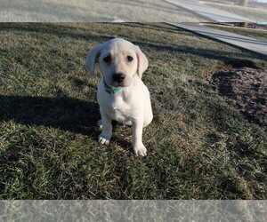 Labrador Retriever Dog for Adoption in INDIANAPOLIS, Indiana USA