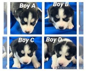 Siberian Husky Puppy for Sale in SMITHS GROVE, Kentucky USA