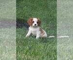 Puppy 6 Cavalier King Charles Spaniel