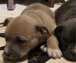 Puppy 3 American Bulldog-American Staffordshire Terrier Mix