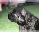 Puppy 3 Shepadoodle