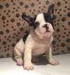 French Bulldog Puppy For Sale in MIAMI, FL